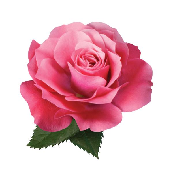 kletterrose rosa floribunda 00021. Black Bedroom Furniture Sets. Home Design Ideas